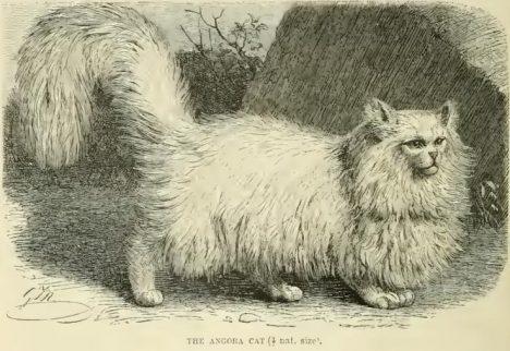 Le chat angora / persan, gravure de 1894