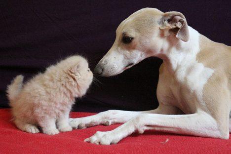 Un chaton persan et un lévrier whippet