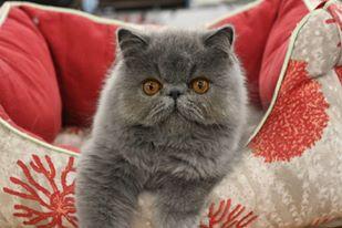 chaton persan bleu