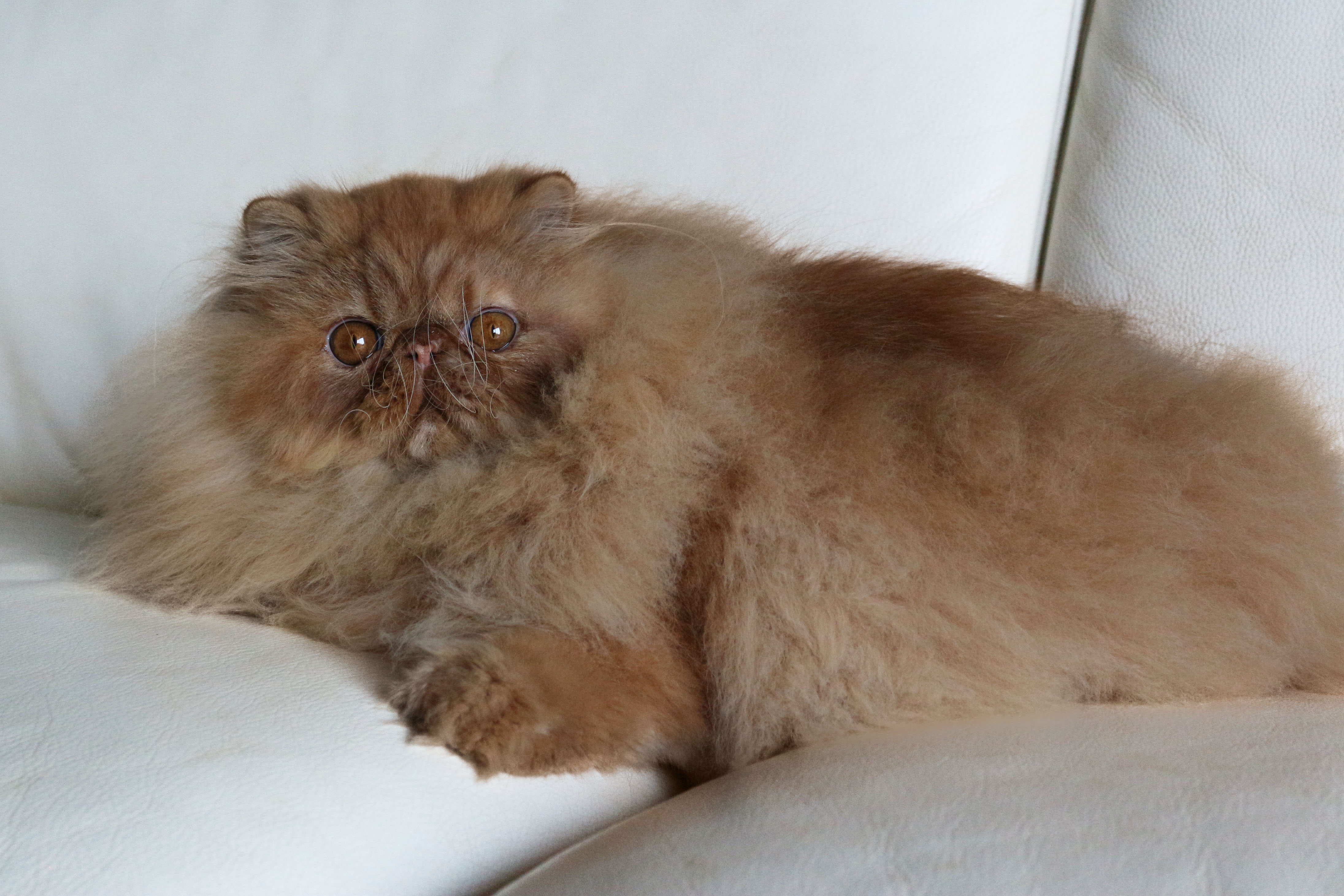 chewbacca persan mâle roux
