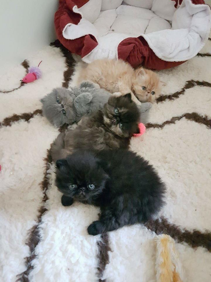 Une portée de chat persans et exotic shorthair